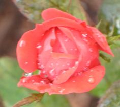 A Rose in wet rainy Houston.  How to grow your own roses click pin...