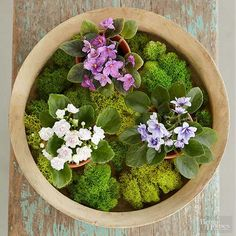 A large wooden bowl or dish is an ideal container for an arrangement of miniature African violets. Using a selection of three potted miniature violets (from left: 'Pink Moonstone', 'Little Hopi II', 'Little Cheyenne'), space them equally in a wooden bowl. Surround and cover the pots with sheet moss, available online and at crafts stores.