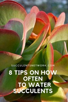 Understanding how often to water succulents is a critical part of growing a healthy succulent if watering is done incorrectly it may kill the plant. Watering Succulents, How To Water Succulents, Succulent Gardening, Garden Soil, Planting Succulents, Photosynthesis, Potting Soil, Winter Garden, Irrigation