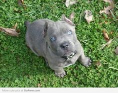 Beautiful blue eyed Cane Corso puppy (sad about the ears and tail though)