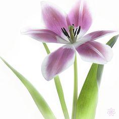Photograph Tulipa by Jacky Parker on 500px