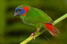Red-eared Parrotfinch - endemic to Mindanao in the Philippines