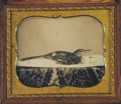 Daguerreotype of a bird from 1851. It is one of the first photographic images taken of an animal. Things that Quicken the Heart: Animals in Art - Early Photographs.