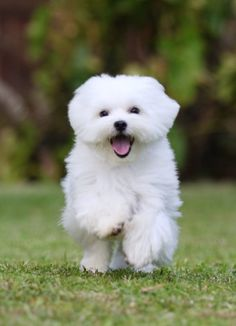 The Maltese is one of several oldest and also most adorable of the toy dog breeds. Brilliant, soft, plus cuddly, it's no wonder why Maltese puppy are being more and more well-known as pets. Cute White Puppies, Small Puppies, Small Dogs, Cute Puppies, Dogs And Puppies, Toy Dogs, Maltese Dogs, Maltipoo Puppies, Samoyed Dogs