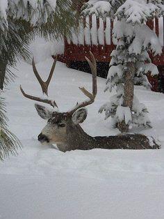 .snow deer
