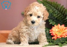 This Toy Poodle puppy has a gorgeous coat and fabulous disposition! Toy Puppies For Sale, Toy Poodle Puppies, Baby Puppies, Cute Puppies, Teacup Puppies, Beagle, Dog Organization, Red Poodles, Bulldog Breeds