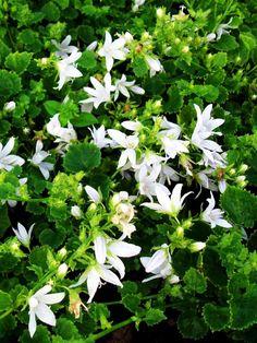 Stjärnklocka, Campanula poscharskyana 'E. H. Frost'. Porslinsvit blomma med blått centrum. Utmärkt marktäckare. Bladen är njur- till hjärtformade och mellangröna. Får en gles blomställning med stjärnlika något uppåtriktade blommor. Robust. Blommar juni-augusti.