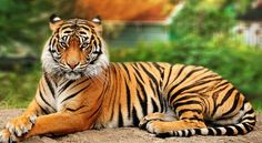 name:tiger whre:Indian size:3m eats:bufallo,dear,humans lives for:50
