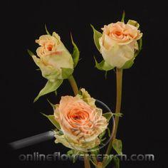 Also pretty roses Wholesale Florist, Rose Varieties, Salt Lake City Utah, Pretty Roses, Bouquets, Wedding Stuff, Floral, Flowers, Plants
