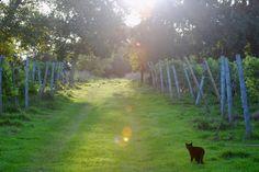 Eve of the Madeleine Angevine harvest at Oatley Vineyard 2012