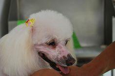 LA PELUQUERÍA: Nuestros perros son unos privilegiados, porque cuentan con el experto en peluquería canina como lo es Mauricio, quien con su toque mágico los deja preciosos.