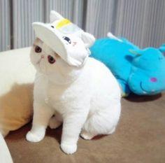 Meet Snoopy the Exotic Shorthair Cat Pics) Cutest Cats Ever, Kittens Cutest, Cats And Kittens, Cute Cats, Kitty Cats, Funny Animal Photos, Funny Cat Pictures, Animals Photos, Animal Pics