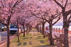 sakura landscape - Buscar con Google