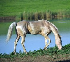 Akhal teke with a lot of the characteristic sheen. photo: Artur Baboev.