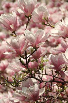 Magnolia Blossoms ~ Ana Rosa