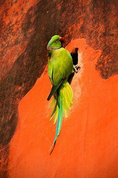 Alexandrine Parakeet, Jantar Mantar, Delhi, India - from World Parrot Trust