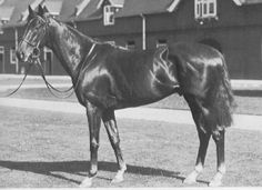 Hyperion(1930)Gainsborough- Selene By Chaucer. 3x4 To St. Simon, 4x4x5 To Galopin, 4x5 To Pligrimage. 11 Starts 8 Wins 1 Second 2 Thirds $141,643. Won 1933 Epsom Derby(Eng-1), St. Leger(Eng-1). Leading Sire In Eng And Ire In 1940,41,42,45, 46,54. Leading Broodmare Sire 1948,57,67 And 1968. Died In 1960 At Age Of 30.