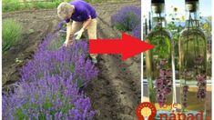 Najlepšia rada, čo s kvitnúcou levanduľou: Pár kvietkov dajte do octu a týchto 9 problémov môžete pustiť z hlavy! Lavender Flowers, Purple Flowers, Evergreen Shrubs, Green Garden, Flower Arrangements, Holi, Diy And Crafts, Herbs, Gardening