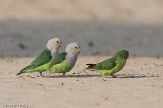 Afficher l'image d'origine Love Birds, Images, Parrots, Grey, Animals, Photos, Gray, Animales, Pictures