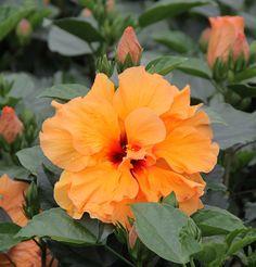 Tropic Escape Hibiscus And Mandevilla | Costa Farms