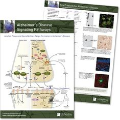Key Signaling Pathways and Diagrams B Cell, Cell Growth, Alzheimers, Amino Acids, Pathways, Diagram, Paths, Walking Paths