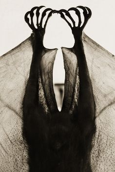 Henry Hortenstein. Flying Fox