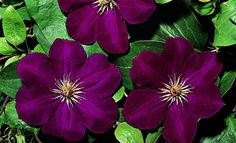 Clematis x 'Rouge Cardinal' Clematis, Garden, Flowers, Store, Red, Photo Illustration, Lawn And Garden, Florals, Storage