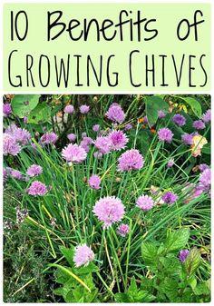 Ten benefits of growing chives