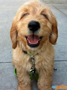 #puppy #cute #smile #dog