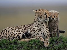 From Big Cat Diary ~ Cheetahs ~ Honey and her cub Toto. Cheetah Pictures, Animal Pictures, Animals And Pets, Baby Animals, Cute Animals, Wild Animals, Beautiful Cats, Animals Beautiful, Afrika Tattoos