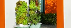 Variety of fruits and vegetables growing in 2 aeroponic Tower Gardens