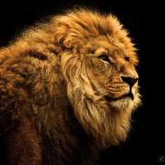 Lion on black by Christian Meermann. #photography