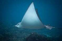 .•°•..•°•.Had a great arvo yesterday at Julian Rocks, swimming around with this spotted eagle ray and lots of turtles. Thanks to @byronbaydivecentre for the trip out~ Tim Samuel Photography.•°•..•°•..•°•..•°•..•°•..•°•..•°•..•°•.