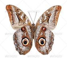 Owl moth watercolor painting