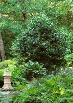 Photo: Nellie R. Stevens holly is one of finest large shrubs for screening views.