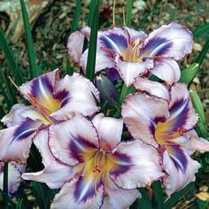 Destined To See Reblooming Daylily at Michigan Bulb