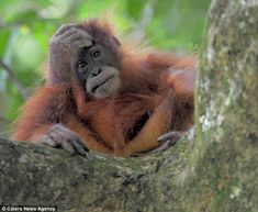 Bad day: An orangutan watches as his home is destroyed