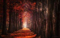 Autumn Light - 메타세콰이어 길의 가을..