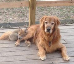 My golden retriever made friends with a baby fox today. After I took this picture, they took nap together. - Imgur