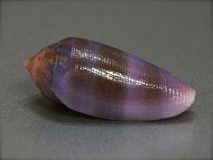 Conus granum, Philippines, 23,2mm