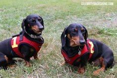 WienerpawLooza 2014 – Crusoe the Celebrity Dachshund
