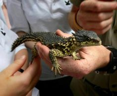 Museum Researcher Names Lizard Genus After Tolkien's Dragon Smaug. Smaug gigantus is a newly-reclassified giant girdled lizard from South Africa. Cute Reptiles, Les Reptiles, Reptiles And Amphibians, Mammals, Beautiful Creatures, Animals Beautiful, Armadillo Lizard, Animals And Pets, Cute Animals
