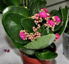 Como cultivar kalanchoe. Kalanchoe, também conhecida como flor da fortuna ou coreana, é uma planta florida da família das suculentas muito popular pela sua aparência colorida e alta durabilidade das flores, inclusive no frio....