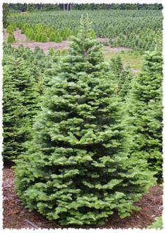Noble firs. The only