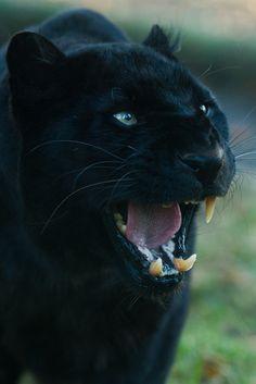 Pantera negra - Animal -> Por: Angel Catalán Rocher! CLICK -> pinterest.com/AngelCatalan20/boards/ <- Sígueme!