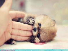 Sweet pomeranian puppy.