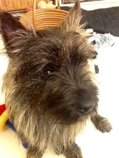 Beamish up close. A pensive cairn terrier.