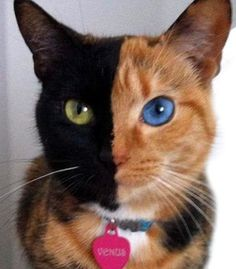 Venus - a beautiful kitty with the most unusual markings ever
