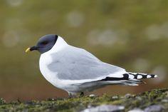 Xema sabini - Sabine's Gull