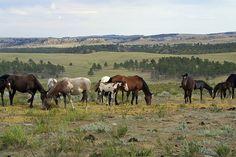 Wild Horses, Hot Springs, South Dakota, wild mustang